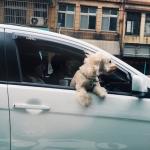 Izrādās dabā eksistē autovadītāju uzvedības pētnieki! Lūk, ko viņi par mums domā!